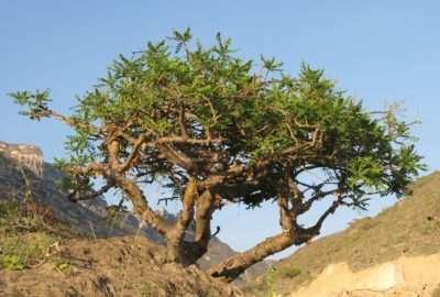 Frankincense a healing medicine